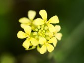 Canola Flower After Rain — Stock Photo