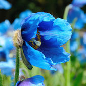 Meconopsis. Himalyan Poppy — Stock Photo