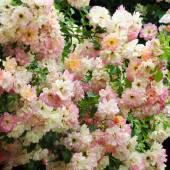 Rosa Phyliss Bide. — Stock Photo