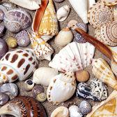 Морские раковины. — Стоковое фото