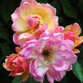 Rose Phyllis Bide.. — Fotografia Stock