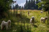 Polish Tatra Sheepdogs — Stock Photo