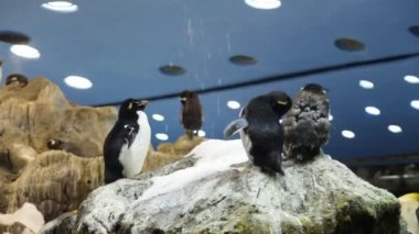 The penguin in zoo — Stock Video
