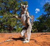 Młody ogoniasty lemur — Zdjęcie stockowe