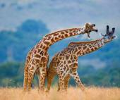 Giraffes in savanna outdoors — Stock Photo