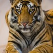 Portrait of tiger close up — Stock Photo #66709023