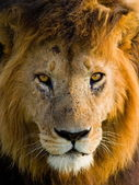 Portrait of an African Lion — Foto Stock