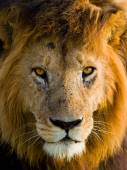 Portrait of an African Lion — Fotografia Stock