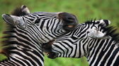 Two zebras close up — Foto de Stock