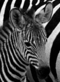Zebras  on black and white — Stock Photo