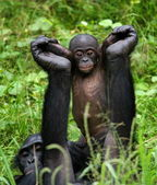 Two Young Chimpanzee — Stock Photo