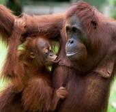 Two orangutans close up — Stock Photo