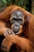 Portrait of Orangutan close up — Stock Photo