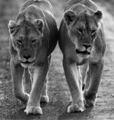 Lions on black and white photo — Stok fotoğraf