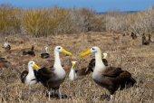 Albatrosses with yellow beaks — Stock Photo
