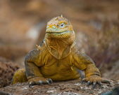 Land iguana Galapagos — Stock Photo