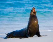 Sea lion (Zalophus californianus) — Stock Photo