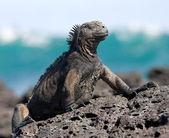 Galapagos marine iguana — Stock Photo