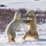 pelea de osos polares — Foto de Stock   #67324825