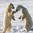 Fight of polar bears — Stock Photo #67324897