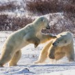 Fight of polar bears — Stockfoto #67324925