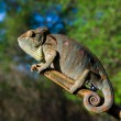 Chameleon on the branch close up — Stock Photo #67324951