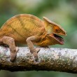 Chameleon on the branch close up — Stock Photo #67325049