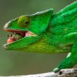 Chameleon on the branch close up — Stock Photo #67325215