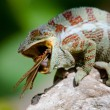 Chameleon on the branch close up — Stock Photo #67325261
