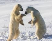 Fight of polar bears — Stock Photo