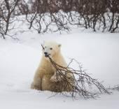 Polar bear on snow — Stock Photo