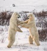 борьба белых медведей — Стоковое фото