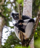 Lemur peaking out from a tree — Stock Photo
