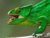 Chameleon on the branch close up — Stock Photo