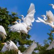Great white egrets — Stock Photo #67624597