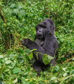 The Mountain Gorilla close up — Stock Photo