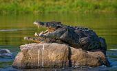 Crocodiles resting on the stone — Stock Photo