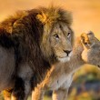 Two young lions in the savanna. — Stock Photo #67813123