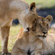 ������, ������: Two young lions in the savanna
