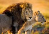 Two young lions in the savanna. — 图库照片
