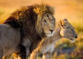 Two young lions in the savanna. — Stock Photo