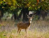 Graceful fallow deer — Stock Photo
