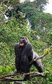 Large gorilla on the tree — Stock Photo