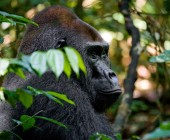 Large gorilla close up — Stock Photo