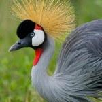 Crested Crane Head — Stock Photo #69989697