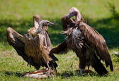 Two griffon vultures — Stock Photo