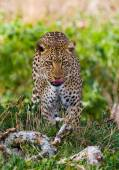 Leopard close up in grass — Stock Photo
