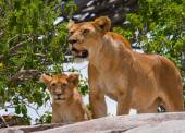 Lion and cub close up — Stock Photo