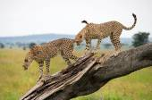 Cheetah come down from the tree — Stock Photo