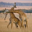 Giraffes in savanna outdoors — Stock Photo #71494631